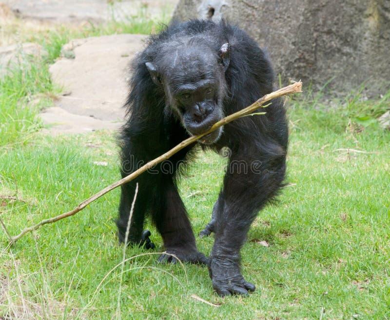 Chimpanzé velho foto de stock royalty free