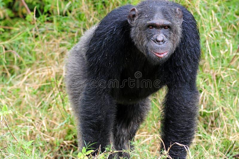 Chimpanzés fotografia de stock