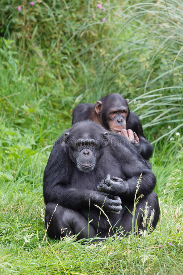 Chimpanzés do chimpanzé fotos de stock royalty free
