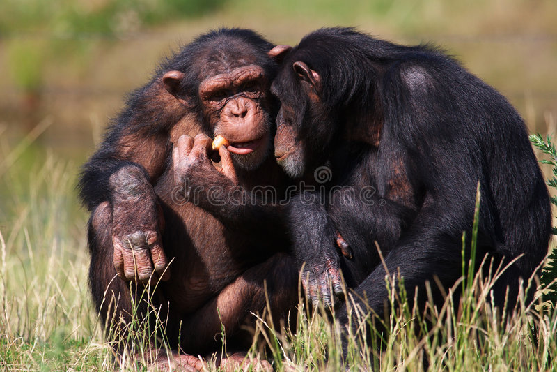 Chimpanzés mangeant un raccord en caoutchouc photo libre de droits