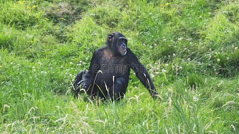 Chimpanzés no jardim zoológico de Belfast fotografia de stock