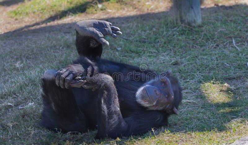 Chimpanze кладя на задний играть с ногой стоковое изображение