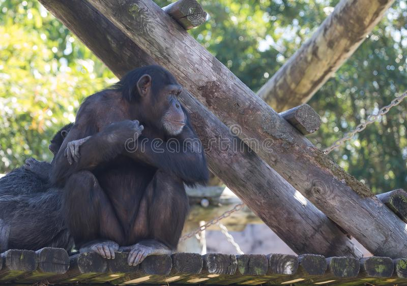 Chimpanze sitting and staring off in the distance. Chimpanze day dreaming sitting on wooden deck with arms crossed looking off in the distance royalty free stock photos