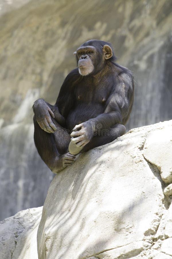 Chimpanzee 10 Stock Photos