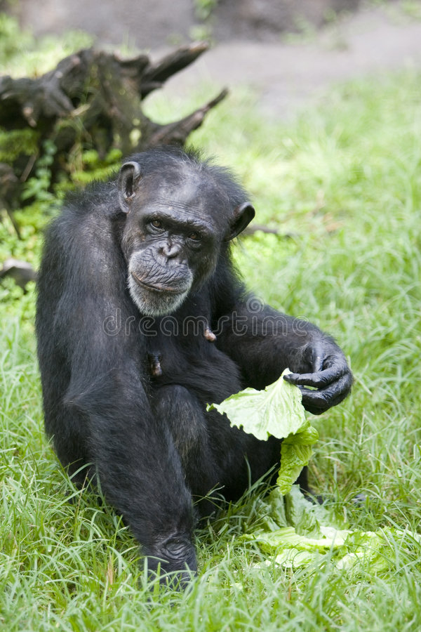 Download Chimpanzee Royalty Free Stock Photography - Image: 1054917
