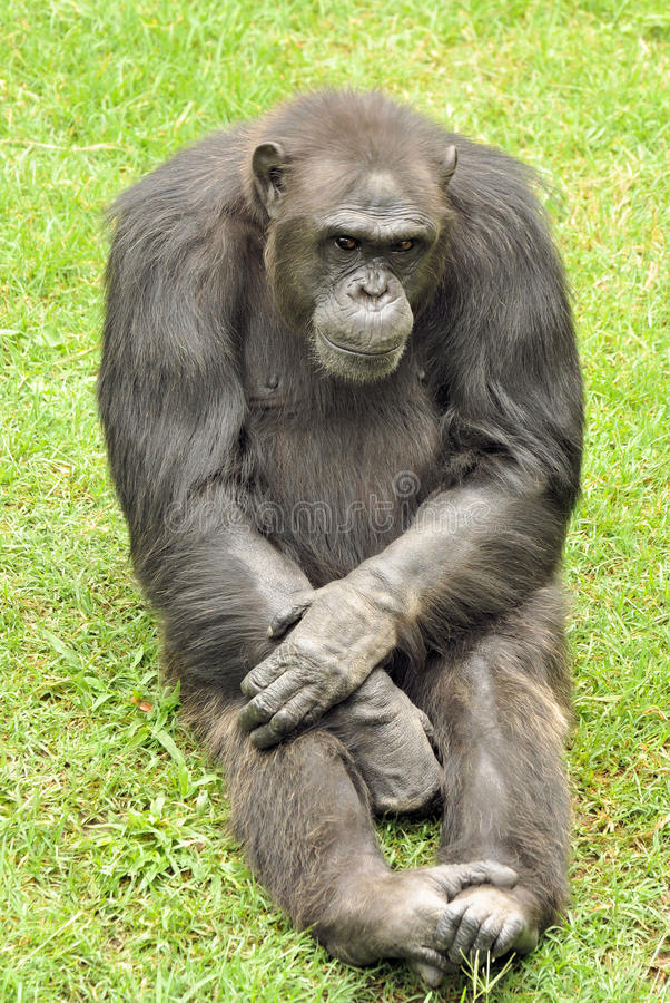 Chimpanzee. Pic of a chimpanzee that seem to be thinking royalty free stock photography
