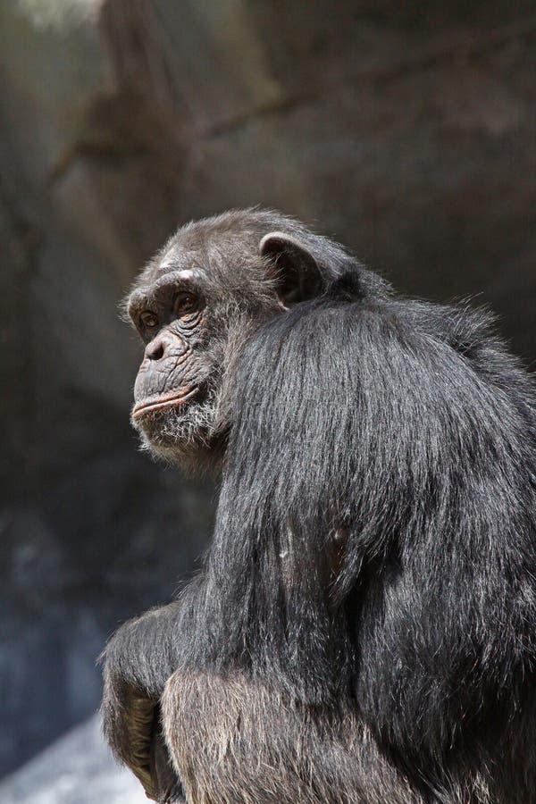 Download Chimpanzee stock image. Image of chimpanzee, looking - 18845137