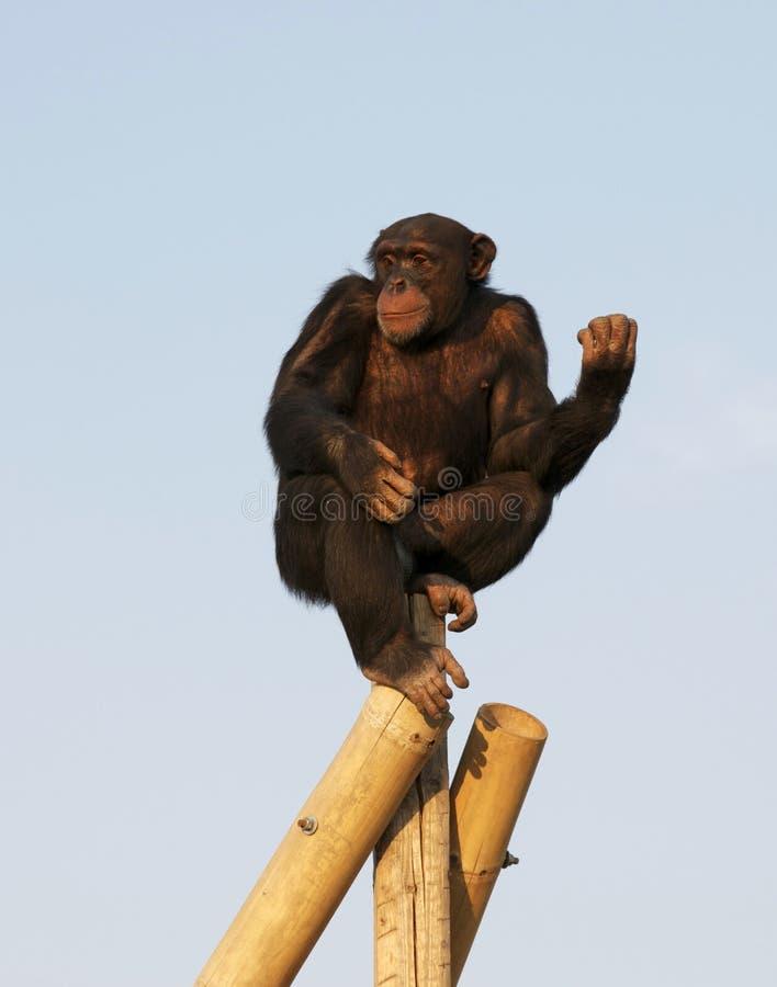 Download Chimpanzee stock photo. Image of monkey, wood, high, thinking - 19584412