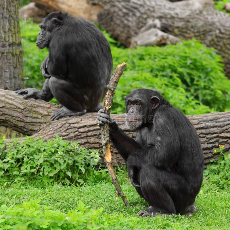 Download The Chimpanzee. Stock Photos - Image: 24655563