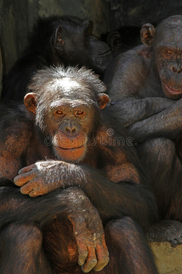 Chimpanzee. Sitting Chimp With Family In Background royalty free stock photos