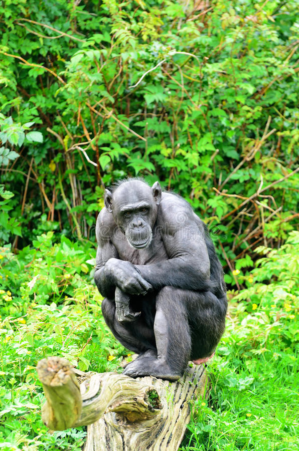 Download Chimpanzee stock image. Image of primate, tropical, black - 26606989