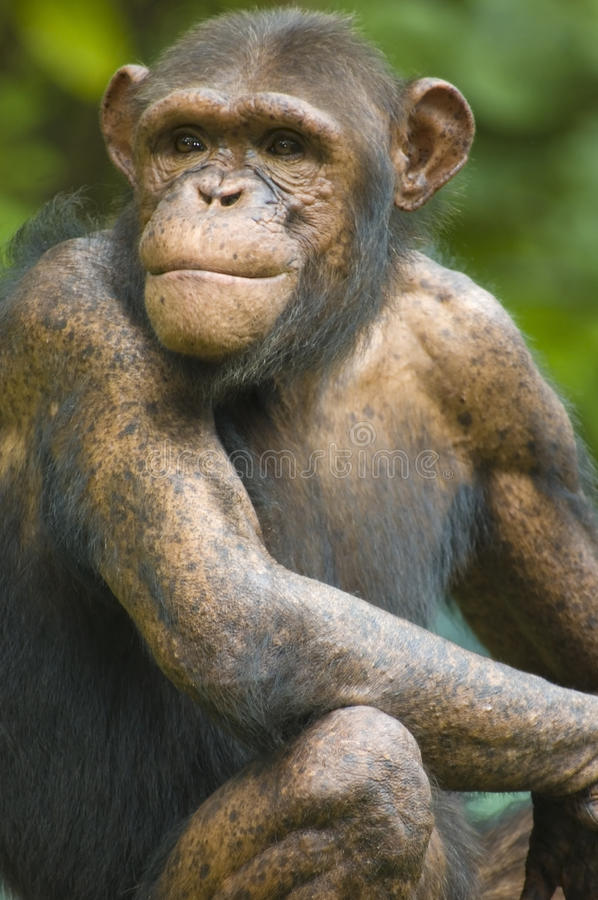 Chimpanzee. Portrait of an old chimpanzee royalty free stock photography