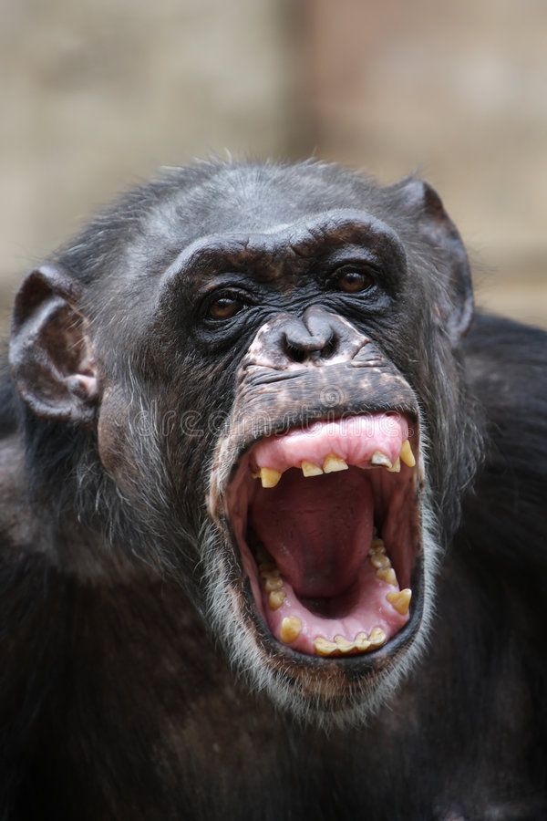 Chimpanzee. Angry chimpanzee screaming and showing teeth royalty free stock photography