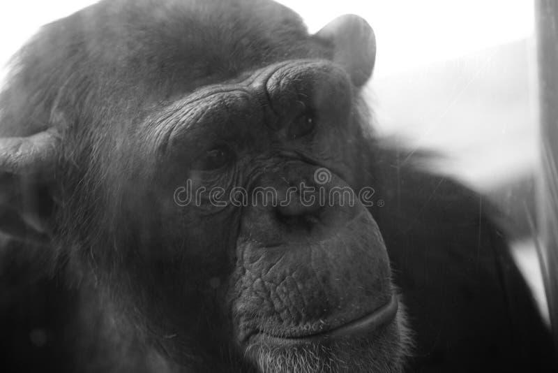 Download Chimpanzee 7 stock image. Image of prisoner, stare, prison - 2629627
