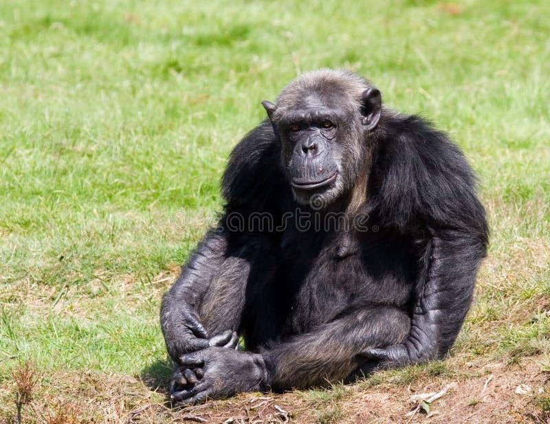 Chimpanzee. A chimpanzee sitting one some green grass , relatives royalty free stock photo