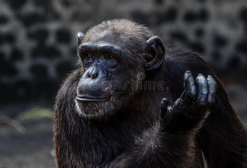 a chimpanzee action royalty free stock photography