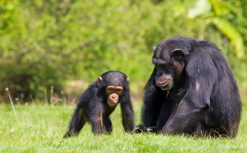 Download Chimpanzee baby stock photo. Image of mother, mammal, dexterous - 5768194