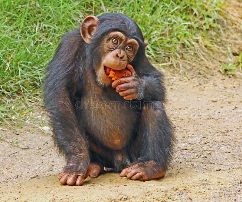 Chimpanzee. Baby chimp alone holding food stock photos