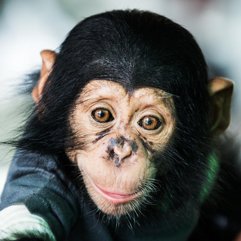 Chimpanzee baby stock image
