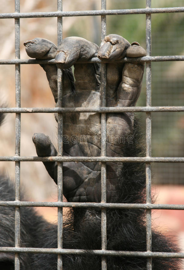 Chimpanzee in Cage royalty free stock photos