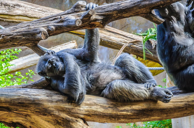Chimpanzee, chim monkey is sleeping in Loro Parque, Tenerife, Ca. Nary Islands stock images