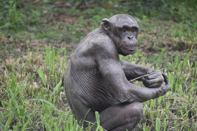 Chimpanzee classic look in forest stock photography