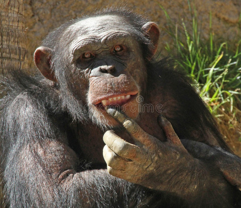Chimpanzee. Close Up Detail Of Chimp With Finger In Open Mouth royalty free stock images