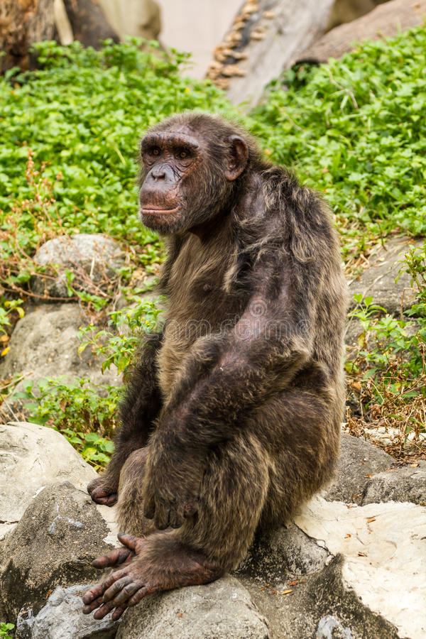 Chimpanzee. Closeup on a Chimpanzee in zoo, Thailand royalty free stock photography