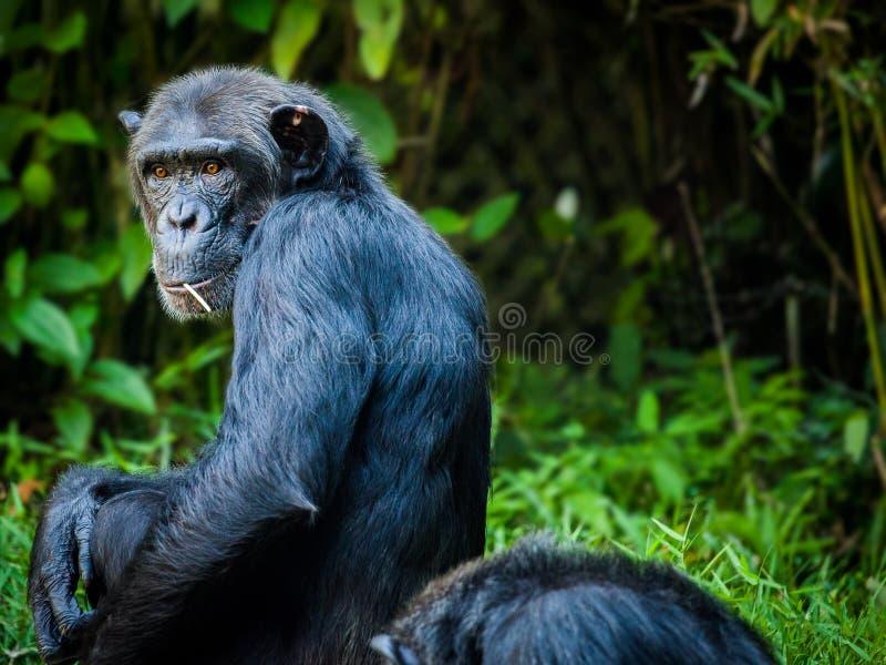 Chimpanzee, Common Chimpanzee, Great Ape, Mammal royalty free stock photo