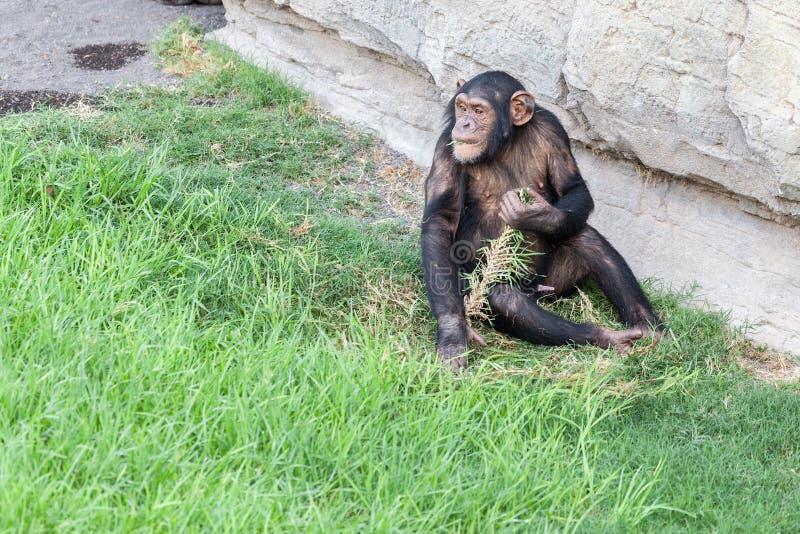 Chimpanzee eating grass stock image