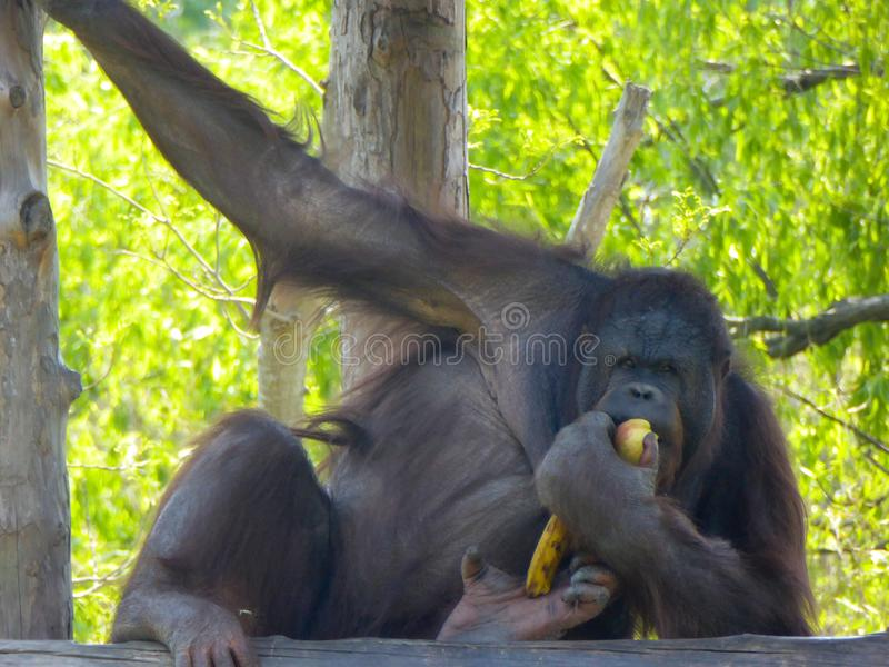 A Chimpanzee eating some fruits stock image