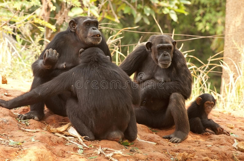 Chimpanzee Family. In the forest royalty free stock images