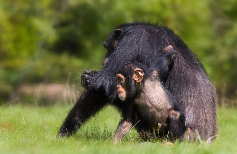 Chimpanzee family. A black chimpanzee resting on the green grass with its little baby chimp hanging around royalty free stock photos
