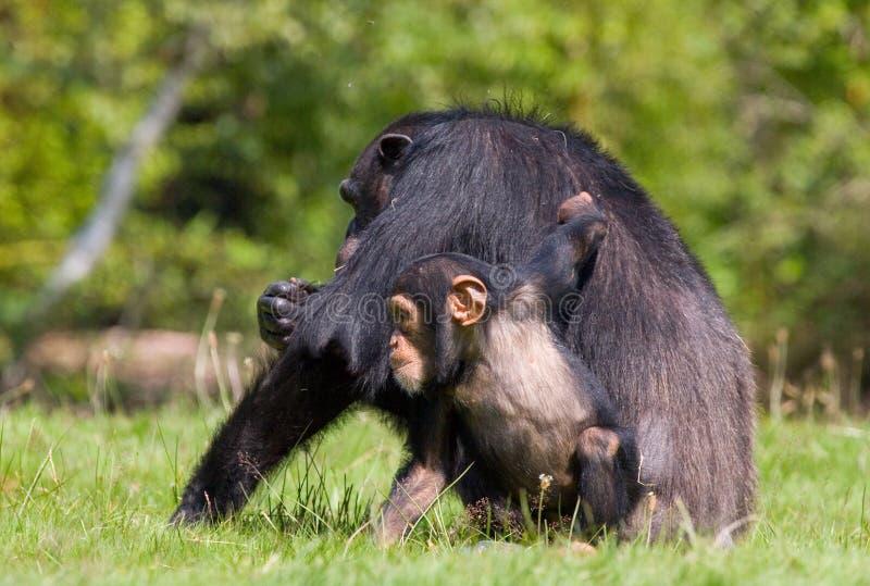Chimpanzee family. A chimpanzee family sitting one some green grass , relatives royalty free stock photo