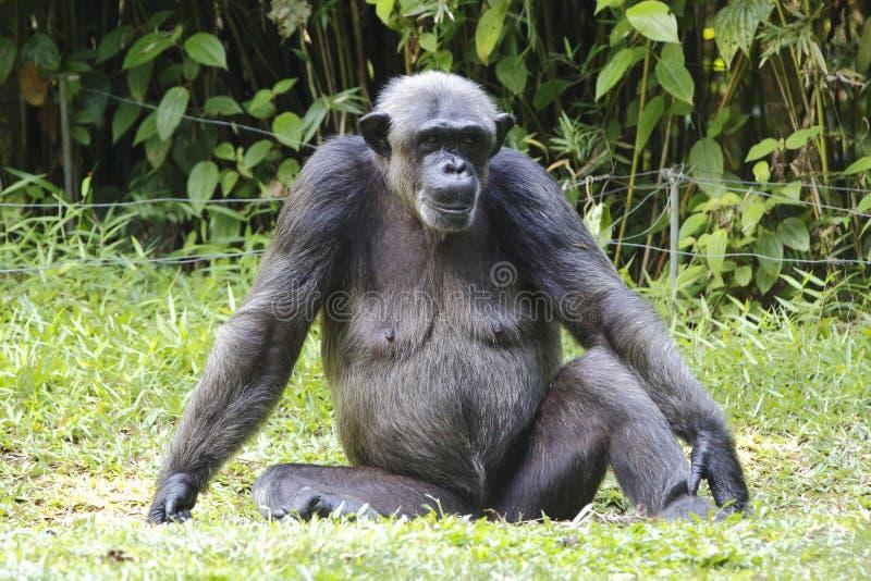 Download Chimpanzee 2 stock photo. Image of wildlife, beast, animal - 33206608