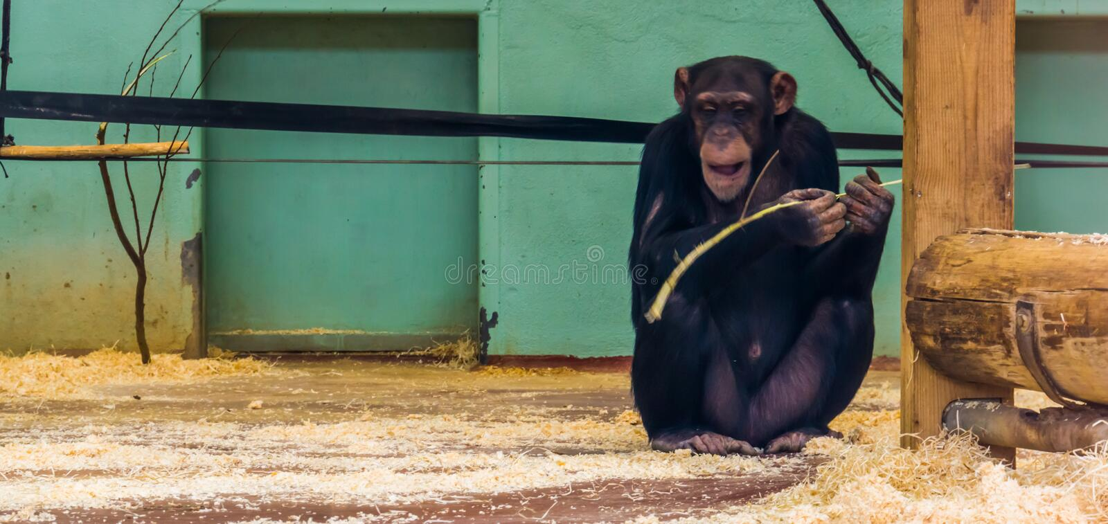 Chimpanzee holding a branch, popular pets and zoo animals. A Chimpanzee holding a branch, popular pets and zoo animals royalty free stock photo