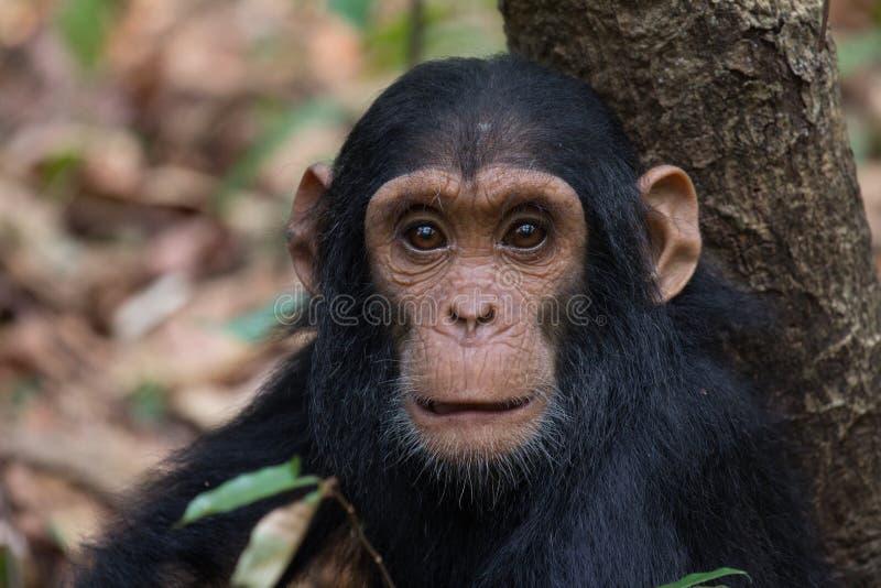 Chimpanzee infant stock photo