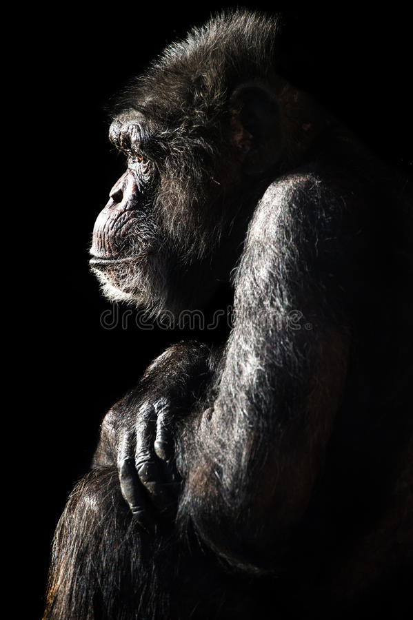 Chimpanzee Light & Shadow stock photography