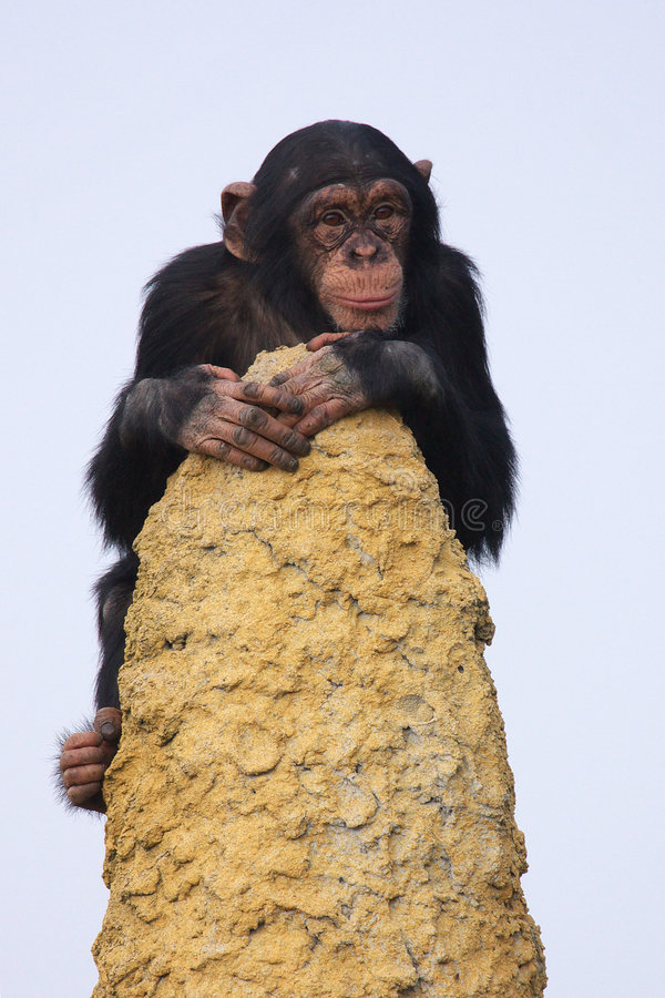 Chimpanzee on the lookout. A young Chimpanzee on the lookout stock images