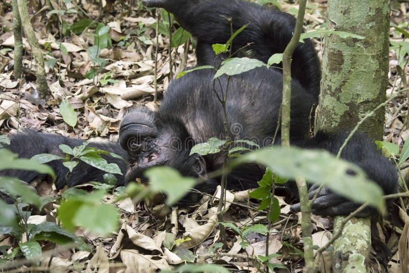 Chimpanzee lounging on ground, Kibale National Park, Uganda. Chimpanzee lounging on ground in Kibale National Park, Uganda royalty free stock photography