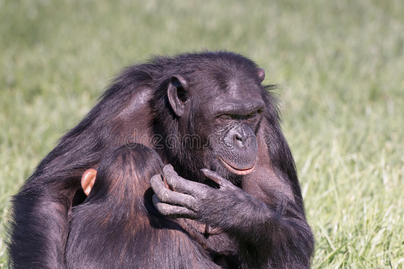 The chimpanzee love between mother and child. royalty free stock photos