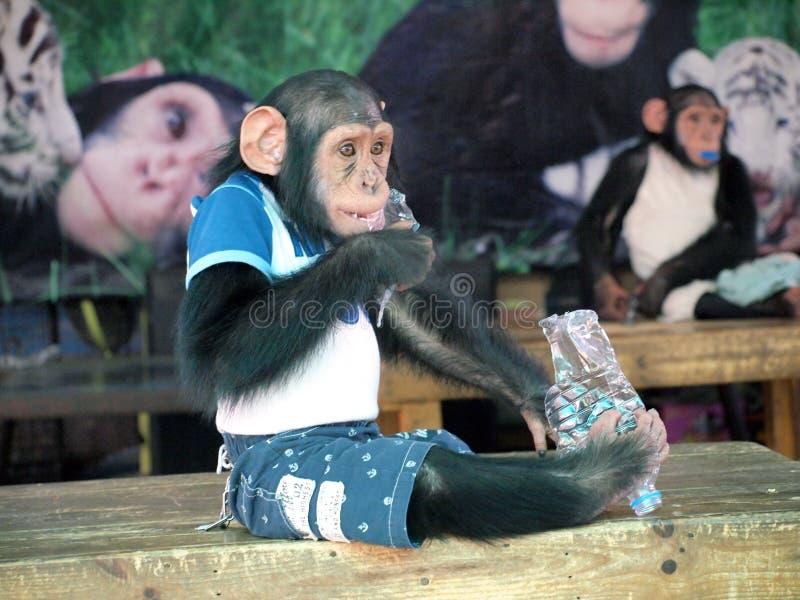 Chimpanzee monkey. In a cloth stock image