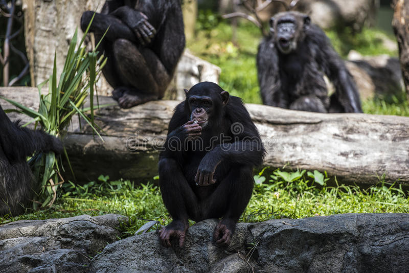 Chimpanzee monkey looks at something. With extreme attention holding something in his hands and near his mouth stock image