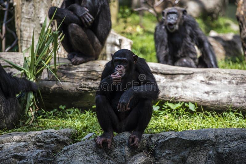 Chimpanzee monkey looks at something stock image