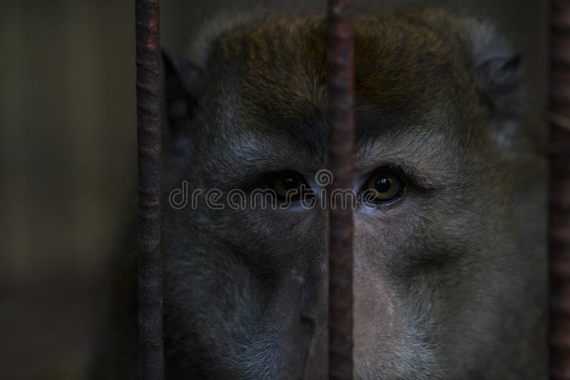 Chimpanzee monkey in metal cage. Chimpanzee closeup photo. Monkey in zoo. Philippines monkey. Wild animal of tropical nature. Warm climate fauna. Animalistic royalty free stock images
