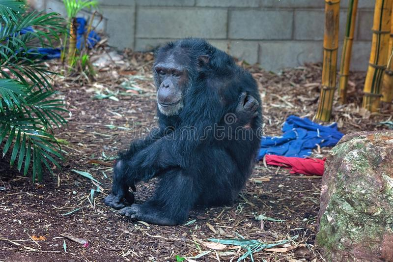 A Chimpanzee Monkey Resting On The Ground. A chimpanzee monkey sitting quietly on the ground resting royalty free stock photography
