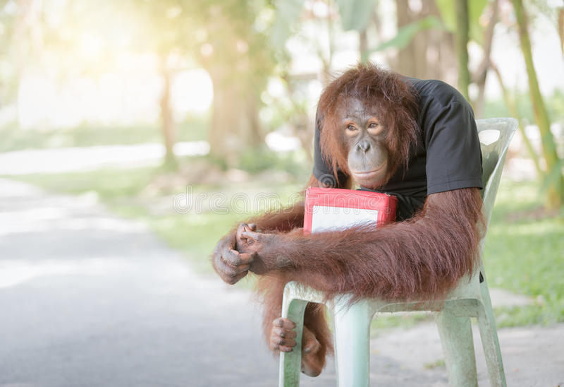 Chimpanzee monkey sit on chair with donation boxes. Help animal concept royalty free stock images