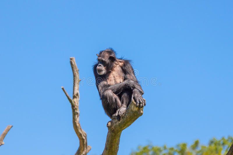 Chimpanzee monkey. On a tree royalty free stock images