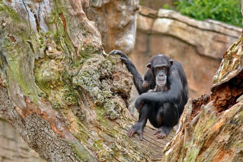 Monkey. Chimpanzee Monkey in the tree stock images
