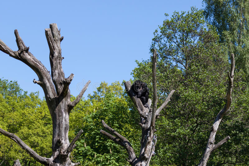Chimpanzee monkey on a tree over blue sky. Chimpanzee monkey on a trees over blue sky stock images